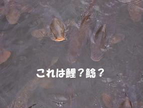 これは鯉?鯰?