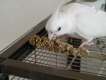 収穫したマイロを食べるフブ