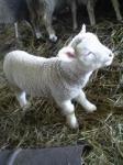 小岩井農場の子羊ちゃん