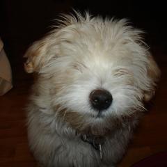 Hisoka犬