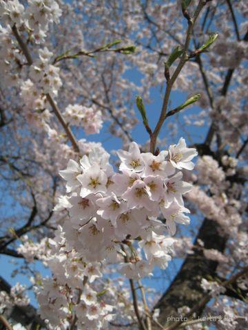 だいすき桜♪
