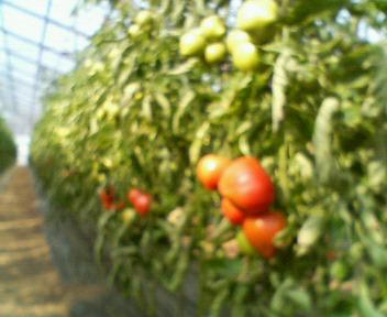 tomatohausu1