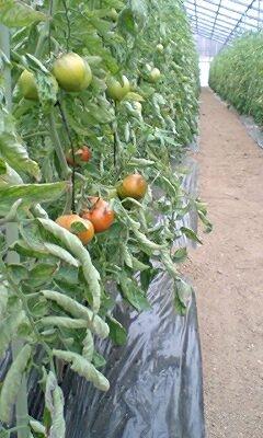 tomato005