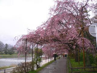 賀茂川の枝垂れ1