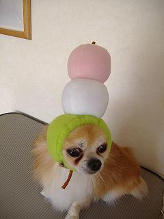 モデルはココロちゃん!チワワも犬ヅラ!