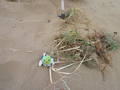 鳥取砂丘除草