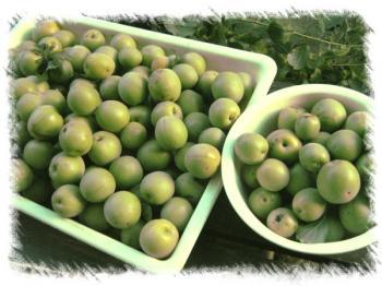 梅の実収穫
