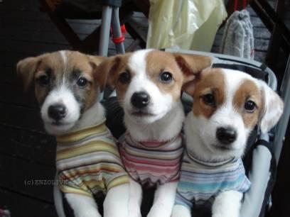 ジャックラッセルテリア専門!エンオリの出産日記♪&子犬情報&仔犬の成長日記▼∵▼