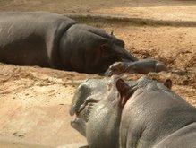 220px-Hipopotamos.jpg