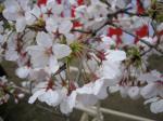 そうだ、桜!