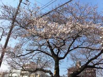 天神川 桜2