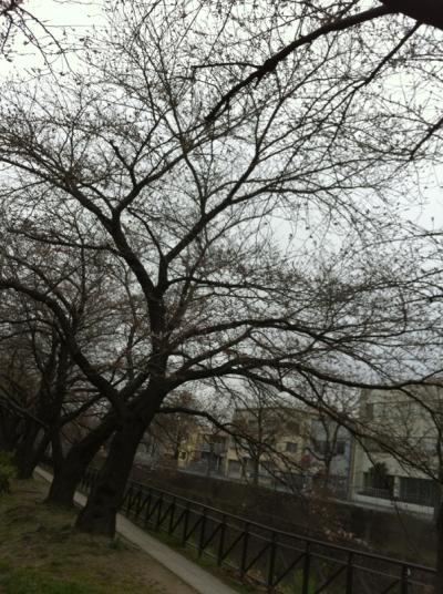 フジプリ前の桜