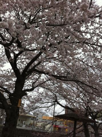 4月3日桜