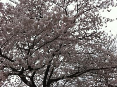 4月3日桜 2