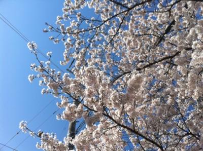 天神川桜2 2011.4.6
