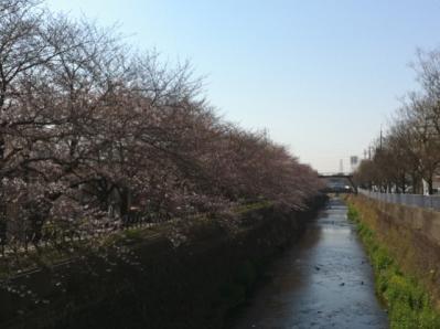 フジプリ前桜 20011.4.6