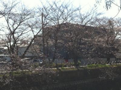 フジプリ前の桜2 2011.4.6