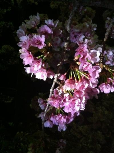 夜桜 梅津