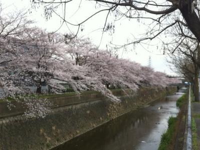 フジプリ前桜 20114.8