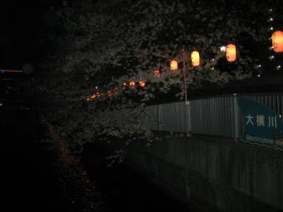 深川夜桜1