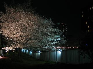 深川夜桜2