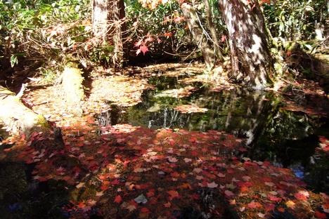 小さな池に漂う赤いモミジ
