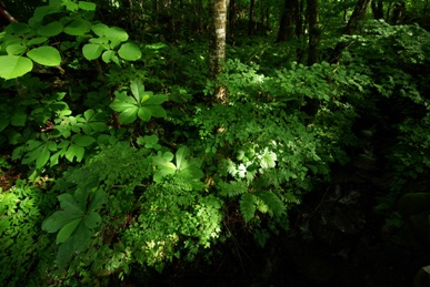 タイマグラの森