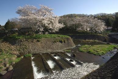 sakura-tamagawa.jpg