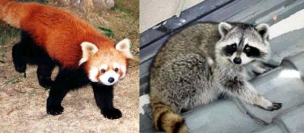 レッサーパンダとアライグマ