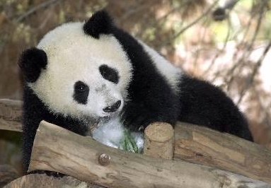 木に登って遊ぶ、幼少時代のパンダ先生