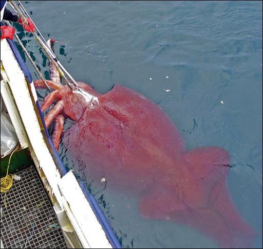 漁船で捕獲された巨大イカ