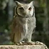 フクロウは驚くと体が細長くなる