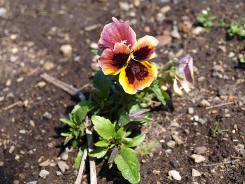 紫パンジー(2011.05.05)