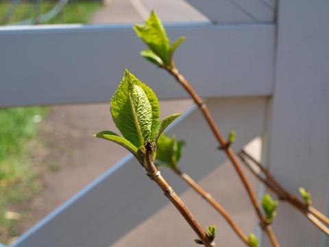 紫陽花の若芽(2011.05.05)