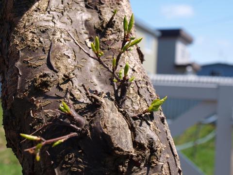 プラムの木(2011.05.05)