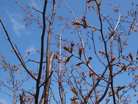 桜(2011.05.05)