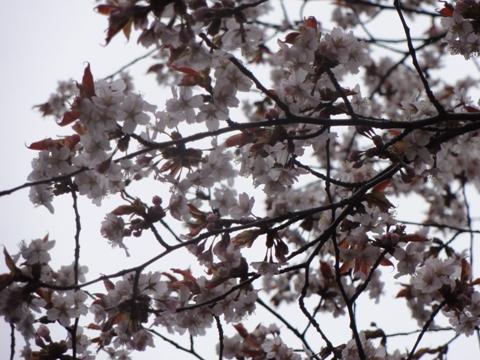 2011神宮桜04(2011.05.07)