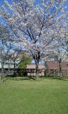 ハハの写メ桜(2011.05.11)