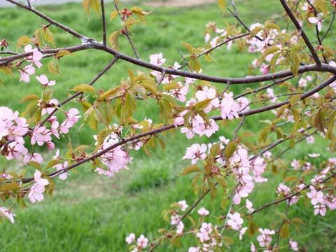 我が家の桜(2011.05.14)