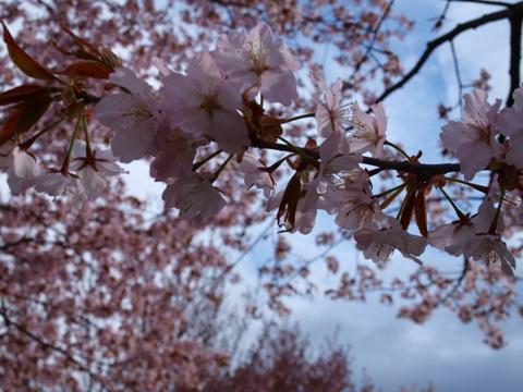 モエレ沼公園の桜06(2011.05.14)