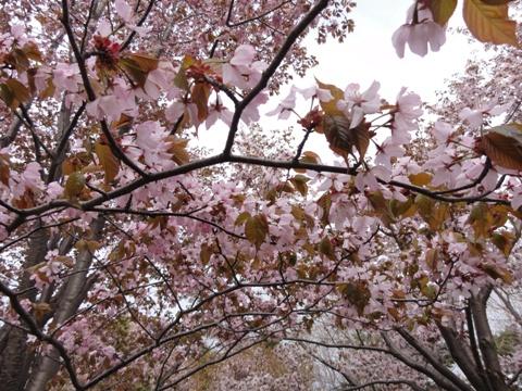 モエレ沼公園の桜01(2011.05.14)
