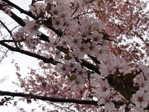 モエレ沼公園の桜02(2011.05.14)