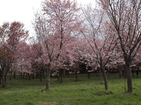 モエレ沼公園の桜03(2011.05.14)