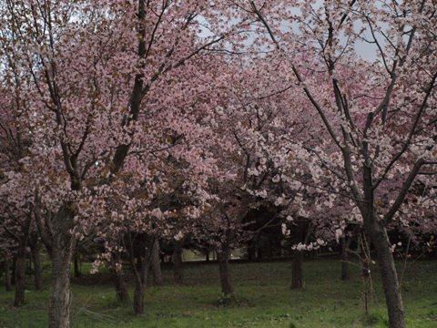 モエレ沼公園の桜04(2011.05.14)