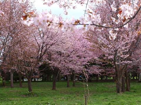 モエレ沼公園の桜05(2011.05.14)