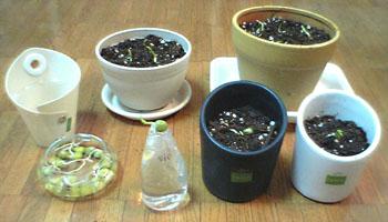植えたグリンピース