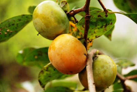 色づく柿の実