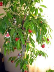 ベンジャミンのクリスマスツリー