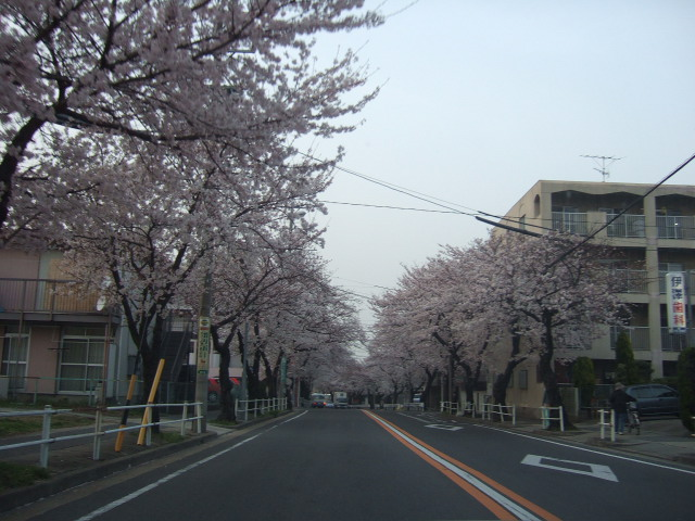 kagakute town-sakura