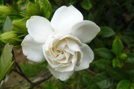 くちなしの白い花 おまえのような花だった♪♪